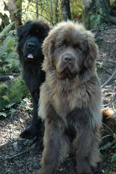 black and chocolate newfies...awwmannn