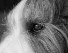 Our sweetie Pien, bearded collie <3