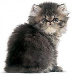 I just LOVE persian cats.