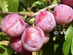 ALTHANOVA Prunus, Plum, Landscape, Fruit, Vegetables, Human Body, Get Well Soon, Egg, Healthy