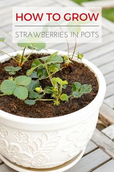 growing strawberries in containers How To Grow Strawberries In Containers -- learn all about planting and growing strawberries in pots. Perfect for growing berries i Growing Strawberries In Containers, Growing Raspberries, Growing Tomatoes In Containers, How To Grow Strawberries, Blueberries, Container Vegetables, Container Gardening, Gardening Tips, Organic Gardening
