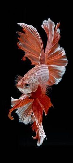"""โชว์ภาพถ่าย """"ปลากัด"""" ผลงานช่างภาพไทยที่ดังไกลระดับโลก #TropicalFishFreshwater"""