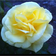 Beautiful yellow rose from our garden. One of the first blooms of the season.