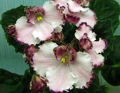 Easy To Grow Houseplants Clean the Air African Violet Saintpaulia LE Mont Saint Michel Plant Ukrainian Variety