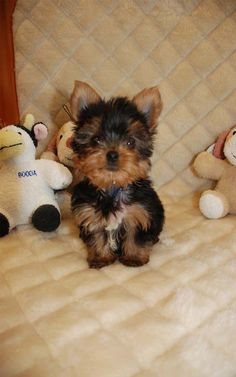 Fur Babies, Yorkshire Terriers, Fun Facts, Yorkies, Pets, Animals, Yorkie Dogs, I Love Dogs, Animales
