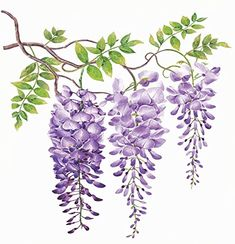 Wisteria with watercolor painting.Hand drawn on white background. Illustration for various tasks such as greeting cards,love card. birthday cards, or different print jobs. Watercolour Painting, Watercolor Flowers, Painting & Drawing, Art Floral, Art Et Nature, Decorative Pillow Cases, Wisteria, Botanical Illustration, Metal Wall Art