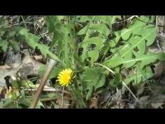 ΕΠΙΒΙΩΣΗ. Αγρια φαγωσιμα χορτα μερος 1 - YouTube Gardening Tips, Survival, Food And Drink, The Originals, Drinks, Plants, Foods, Youtube, Drinking