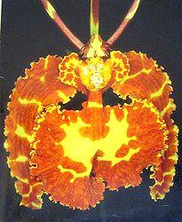Psychopsis versteegianum http://www.tropicalexotica.com/Psychopsisversteegianum.htm