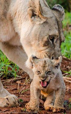 A cranky little lion cub - Roel van Muiden of RvM Wildlife Photography. Cranky little crankster.