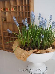 spring flowers, kukkia, vår blommor, helmihyasintteja