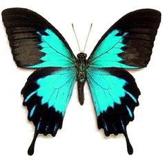 Rare Butterfly Species | ... butterflies moths on sale indo asian butterflies moths new additions