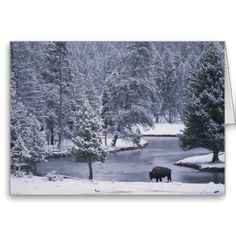 18 best stuff from national geographic images on pinterest american bison yellowstone national park greeting cards m4hsunfo