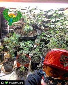 #Repost @madizm.info with @repostapp  Join us tomorrow 5/1/17 @ 4:20pm est on facebook/madizm.info #madizmtv #THEPOTCAST as we interview @kinggrow973.. We will be discussing all the latest in #DoItYourself #DIY #techniques to grow the #stickiest #ickiestofthesticky #indoor #outdoor #indica #sativa #kush #sour #haze #bud #flower #cannabis #madizm powered by #reelstreetviewztv