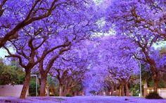beautiful-trees-Jacaranda-trees-Cullinan-South-Africa