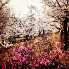 Pink is the color of Spring. #sakura #cherryblossom #korea #japan #tree #university #ifollowback #teamfollowback #followbackalways - @iamkony2012- #webstagram