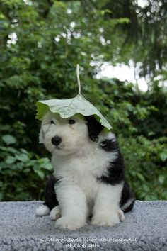 they say it gonna rain today. so I ám prepared :) - they say it gonna rain today… so I ám prepared 🙂 Cute Funny Animals, Cute Baby Animals, Animals And Pets, Cute Dog Pictures, Animal Pictures, Baby Puppies, Cute Puppies, English Sheepdog Puppy, Pet Dogs