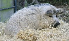 Mangalitsa: The 'sheep' that are actually woolly PIGS