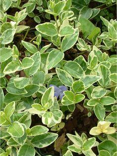Vinca minor 'Argenteovariegata' - lights up shade, evergreen, long flowering