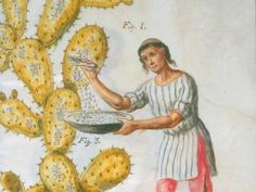 An 18th-century Indian gathers cochineal.
