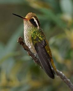 The White-eared hummingbird is probably one of my favorite hummingbirds!