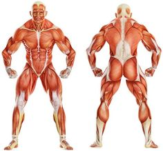 Knowing the major muscle groups and the weight lifting exercises that work each of these basic muscle groups is very important to improving your body. From: Weight Lifting Complete Muscle Anatomy, Major Muscles, Poses References, Anatomy Reference, Muscle Groups, Human Anatomy, Yoga Anatomy, No Equipment Workout, Weight Lifting