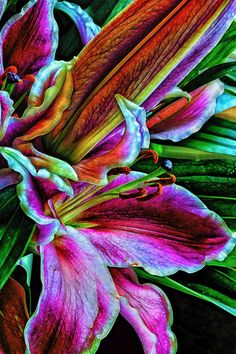 Stargazer Lilies Up Close and Personal by Bill Tiepelman, via 500px