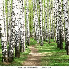 Spring in birch grove by LeniKovaleva, via Shutterstock