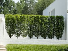 Hornbeam, Frans Fontaine Carpinus bet 'Frans Fontaine' - The Frans Fontaine is a narrower and more compact variety of columnar hornbeam. classic, narrow, neat tree for any landscape and garden. Privacy Trees, Privacy Plants, Garden Privacy, Privacy Landscaping, Fence Plants, Garden Shrubs, Modern Landscaping, Garden Landscaping, Fence Trees