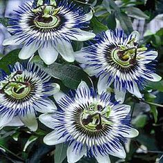 Hardy Blue Passion Flower- Zone 5- shade loving vine.