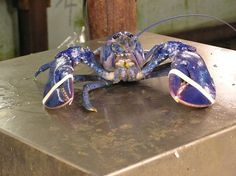 Around one in two million lobsters is blue. A research study conducted by Professor Ronald Christensen at the University of Connecticut discovered that a genetic defect causes a blue lobster to produce an excessive amount of protein. The protein, and