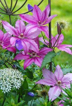 gardening in pennsylvania june, flowers, gardening, Clematis John Warren Geranium Orion Allium multibulbosum
