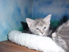 Cloudee is an adoptable Domestic Short Hair - Gray And White Cat in Altoona, PA. Grey And White Cat, Gray, Short Hair Styles, Cats, Animals, Bob Styles, Gatos, Animales, Animaux