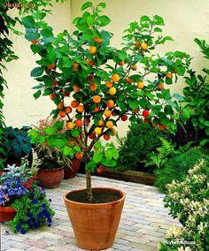 Detalhe:pé de limão capeta em vaso. Mini árvores frutíferas em vasos, dicas para cultivar! | Click Obra