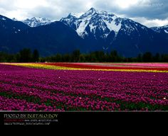 tulips - Chilliwack, British Columbia