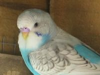The spangle budgie is lovely, one of my favourite varieties. You will find photos and information on these lovely birds here. Budgie Parakeet, Cockatiel, Parakeets, Parrots, Little Birds, Love Birds, Beautiful Birds, Baby Budgies, Conure