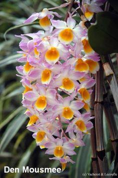 Dendrobium 'Mousmee' - A Hybrid