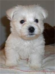 Some Yorkshire Terriers are liver or chocolate, a brown colour; Westie Puppies For Sale, White Puppies, Puppies Tips, Terriers, Terrier Dog Breeds, West Highland Terrier Puppy, Yorkshire Terrier Dog, Westies, Little Dogs
