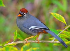 Chestnut-capped Laughingthrush (Garrulax mitratus) in Malaysia by James Ownby