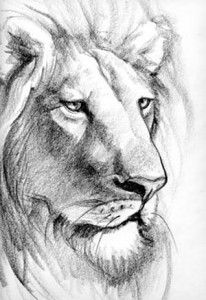 Lion drawing 1