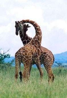 giraffes - pic for moms living room?