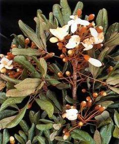 superpene herbal