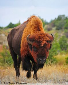 American Bison Bull by Scottwdw. Being a Taurus this rust colored Bison attracted my attention. Nature Animals, Animals And Pets, Cute Animals, Colorful Animals, Wildlife Photography, Animal Photography, Beautiful Creatures, Animals Beautiful, Photo Animaliere