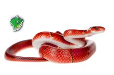 Buy snakes for sale online from trusted breeders that put the well-being of their animals first. Strictly Reptiles is an online reptile store that carries a large variety of different snake species. Domesticated pets and wild catches. Crazy colors and usual patterns. Corn snakes, king snakes, pythons, boas, and more. Regulated and non-regulated. Venomous and non-venomous. Common and rare.   #BuySnakesforSaleOnline #BuySnakesOnline #LiveSnakesForSale #WholesaleSnakesForSales