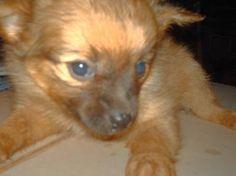 puppies pom chi min pin | Paperanian, Papillon, Paperanian Puppies, Dog Breed Info Center®