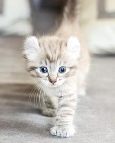 Le Highland lynx : cette race de chat méconnue qui nous fait craquer France is an independent nation in Western Europe and the biggest market of a large ov Kittens Cutest, Cats And Kittens, Cute Cats, Funny Kittens, White Kittens, Ragdoll Cat Breed, Ragdoll Kittens, Bengal Cats, Bengal Tiger