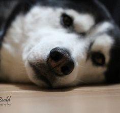 Alex my Siberian Husky                                      Photo by Betty J Budd                                         Editor's Choice