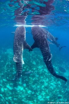 Whale sharks holding flippers! Awww!