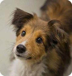 Washington, DC - Sheltie, Shetland Sheepdog Mix. Meet Eli, a dog for adoption. http://www.adoptapet.com/pet/11976761-washington-dc-sheltie-shetland-sheepdog-mix