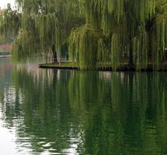 Willow trees are beautiful.  I consider them very calming and healing.