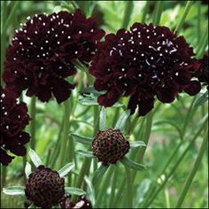 Black Scabiosa * Pincushion Flower Seeds in Home & Garden, Yard, Garden & Outdoor Living, Plants, Seeds & Bulbs Black Flowers, Cut Flowers, Autumn Flowers, Seasonal Flowers, Flower Farm, Flower Pots, Deer Resistant Annuals, Dianthus Barbatus, Beneficial Insects
